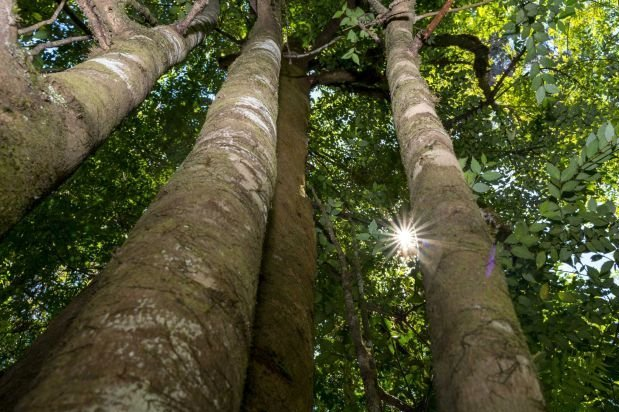 Old-growth trees to be 'woodchipped, wasted' under specialty timber access plan