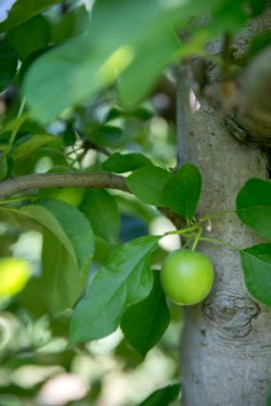 CSIR informs water requirements of SA's multi-billion rand deciduous fruit industry