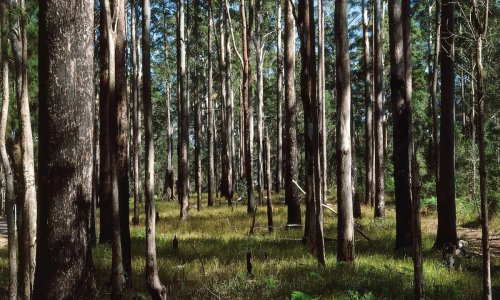 Whole thing is unravelling': climate change reshaping Australia's forests